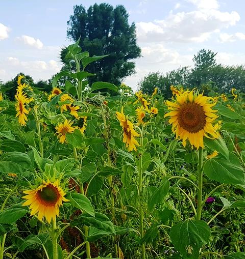 Sonnenblumen + Gelb als Trendfarbe 2019